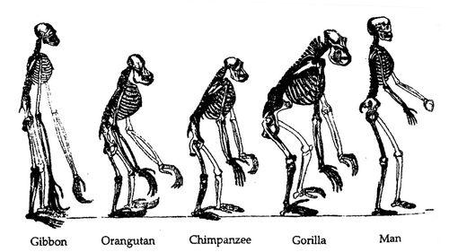Human-evolution1